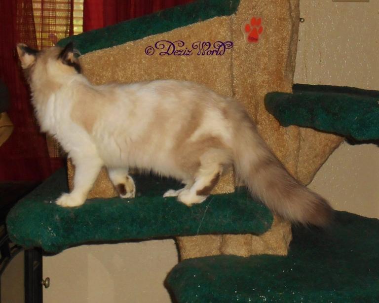 Raena on cat tree