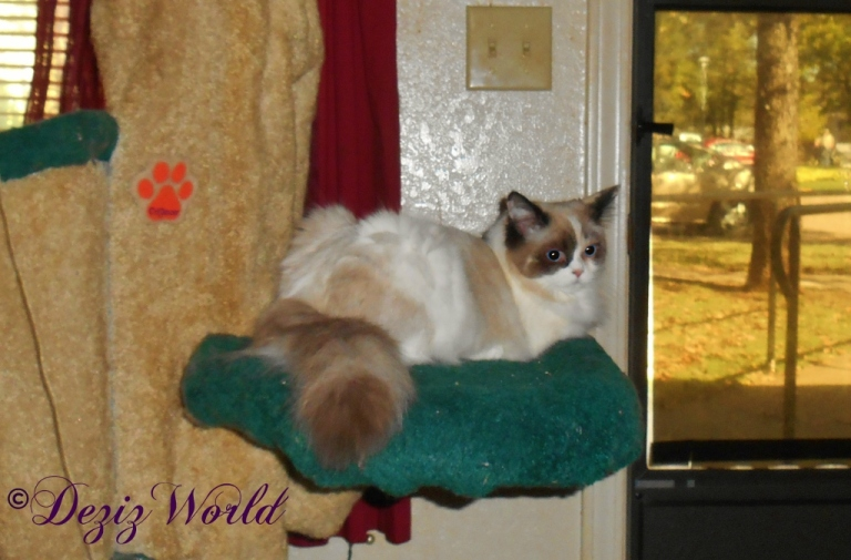 Raena lays on Liberty cat tree