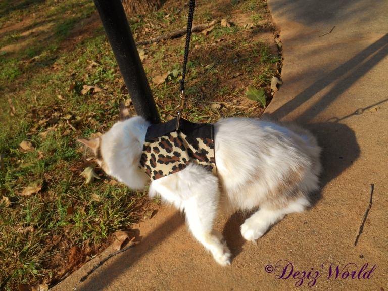 Raena outside in her walking harness