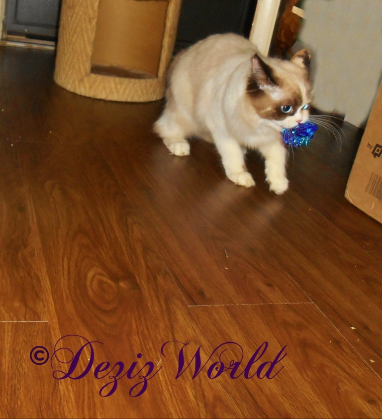 Raena carries the crinkle ball from the Kong Incline cat scratcher