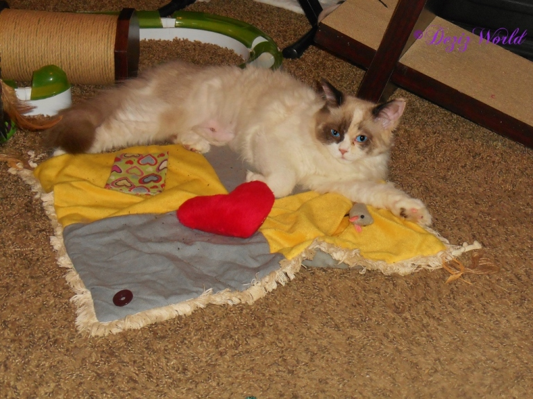 Raena laying on the nip mat after her spay day