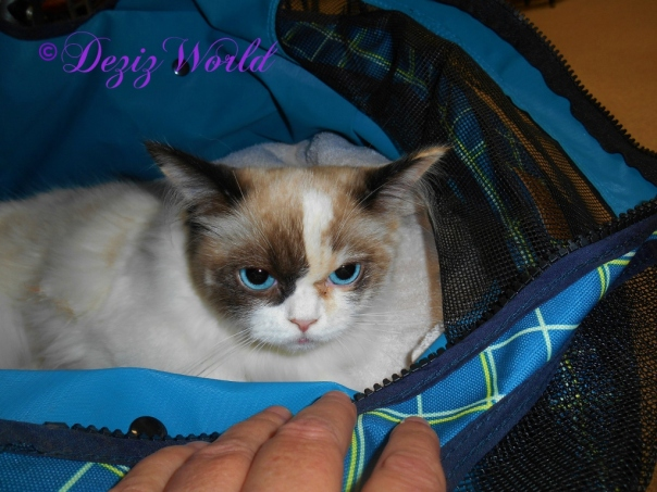 Raena in stroller after spay