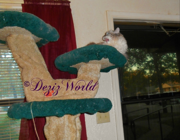 Dezi laying on cat tree with mouth open