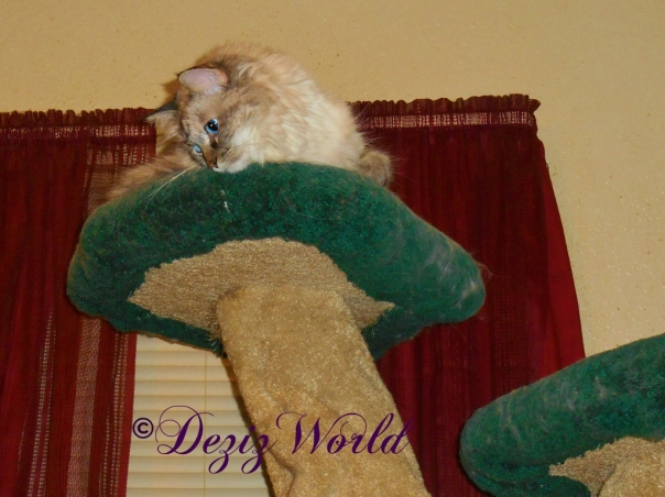 Dezi atop the Liberty Cat Tree looking down