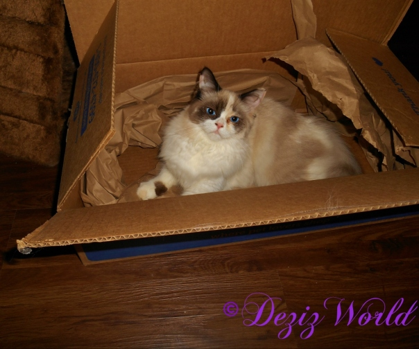 Raena laying in a chewy box