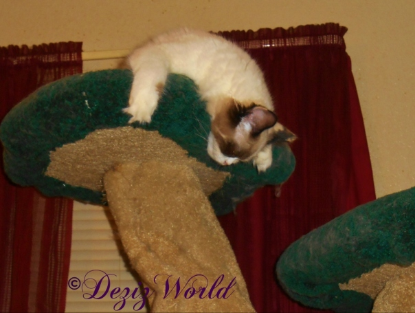 Raena concked out atop the Liberty cat tree
