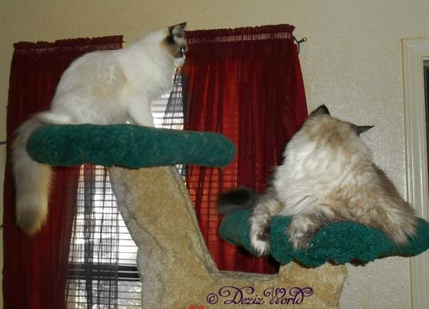 Dezi and Raena sitting on the Liberty Cat tree