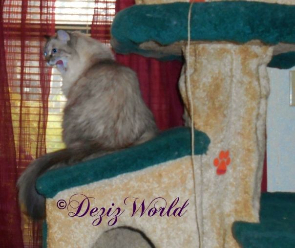 Dezi site on the Liberty cat tree house, looking out the window with her mouth open