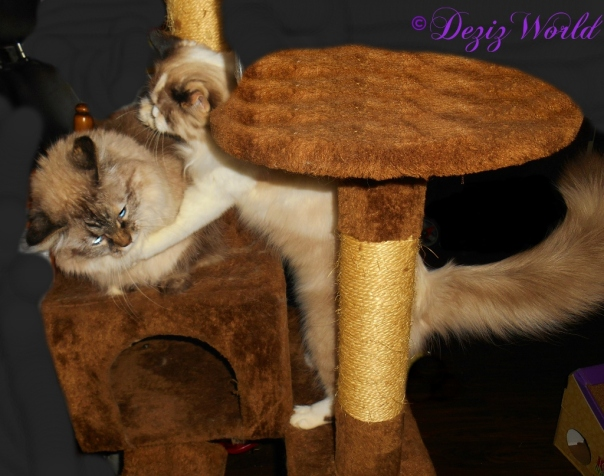 Raena hugs Dezi while she lays on the brown cat tree