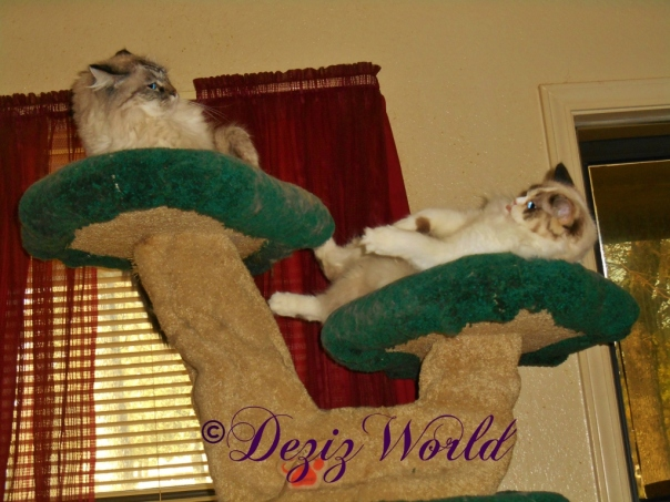 Dezi and Raena on cat tree and Raena sticks her tongue out