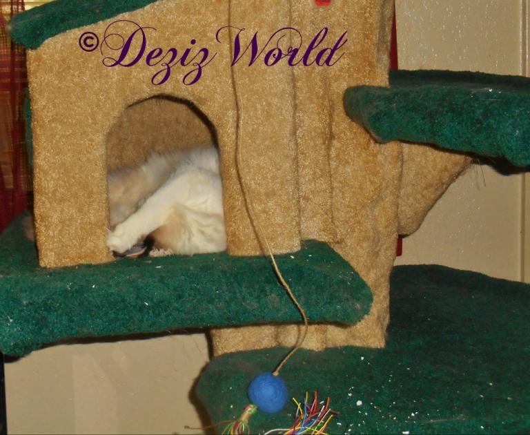 Raena sleeps in the Liberty cat tree house