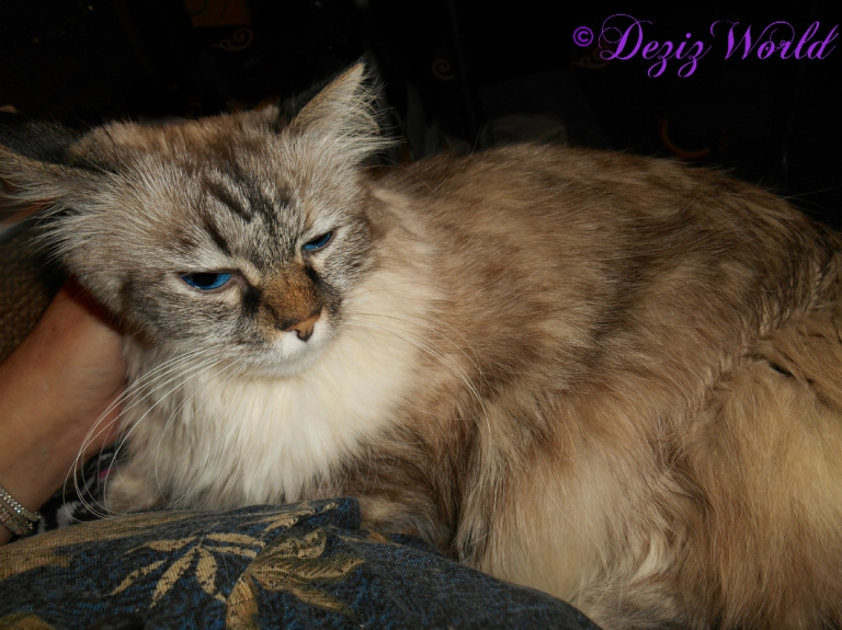 Dezi lays in mommys lap for loving