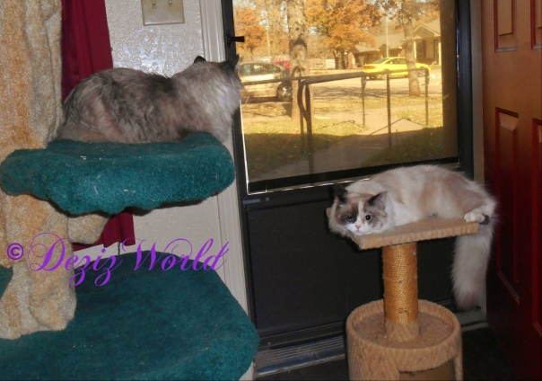 Dezi and Raena lay on the cat tree and small perch to look out the window and chat