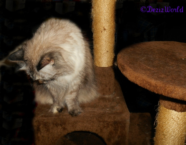 Dezi sits on brown cat tree with head down in prayer