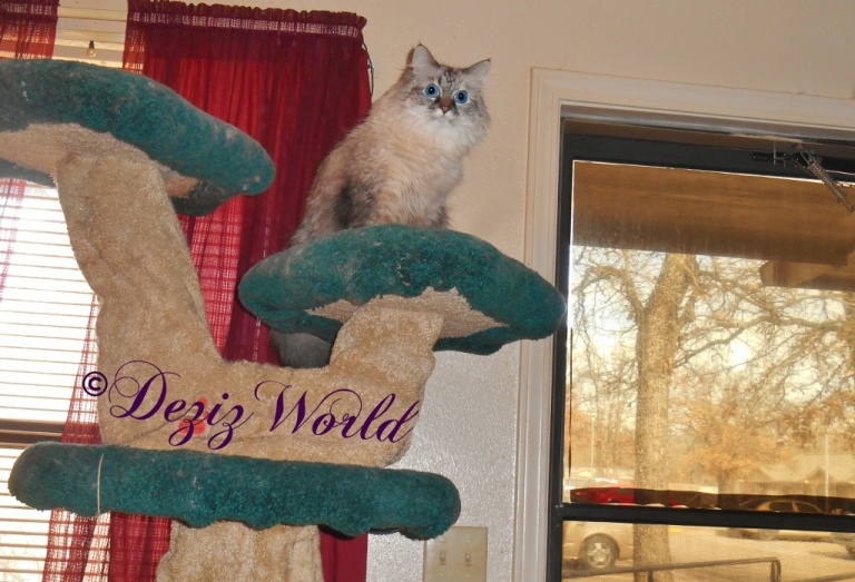 Dezi atop the Liberty cat tree overseeing her world