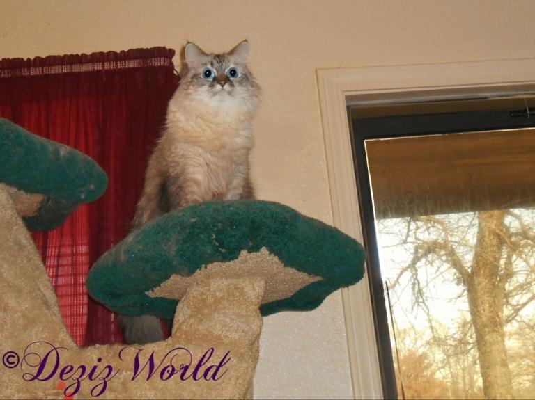 Dezi atop the Liberty cat tree