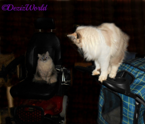 Dezi lays in the wheelchair while Raena meows t her from the top of the stroller.