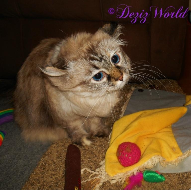 Dezi enjoys her Christmas nip toys