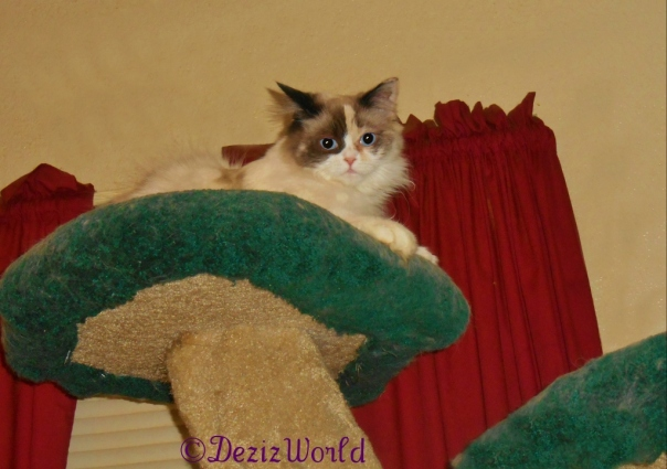 Raena looks out from the top of the Liberty cat tree