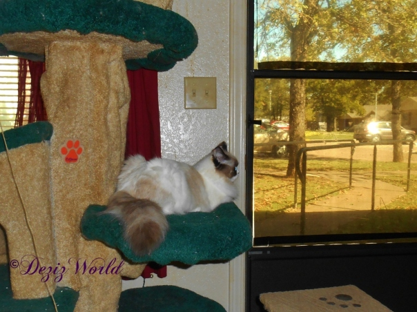 Raena sits on the Liberty cat tree and looks out the door