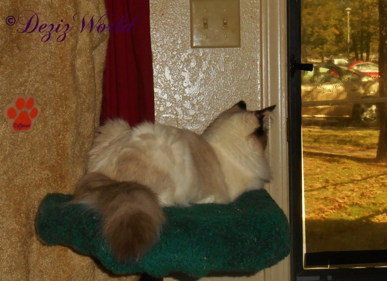 Raena looks out the door from her perch on the Liberty Cat tree
