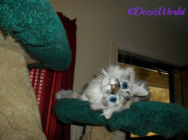 Dezi lays on the Liberty Cat tree, and hangs her head over the edge