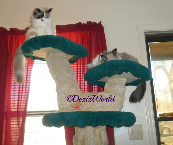 Dezi and Raena on the Liberty Cat Tree