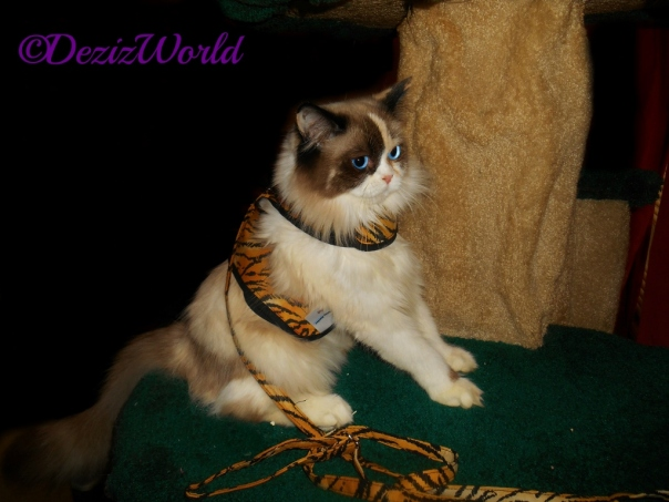 Raena in tiger kitty holster cat harness