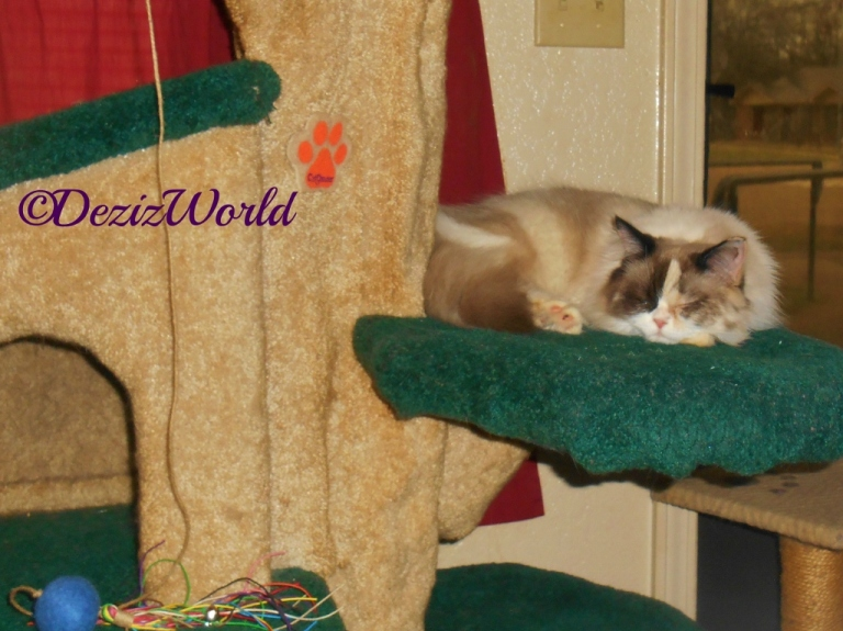 Raena sleeps on the ledge of the Liberty Cat Tree