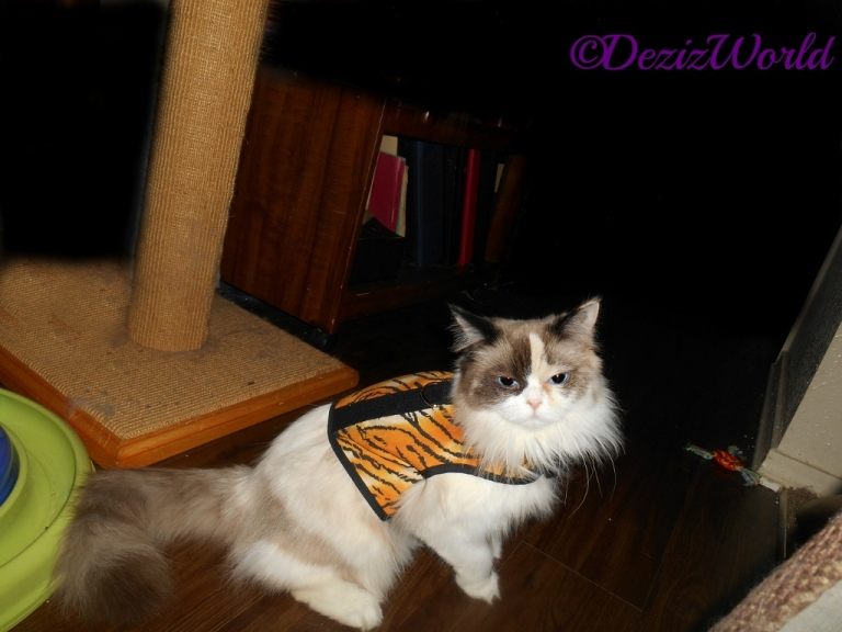 Raena sits in tiger kitty holster cat harness