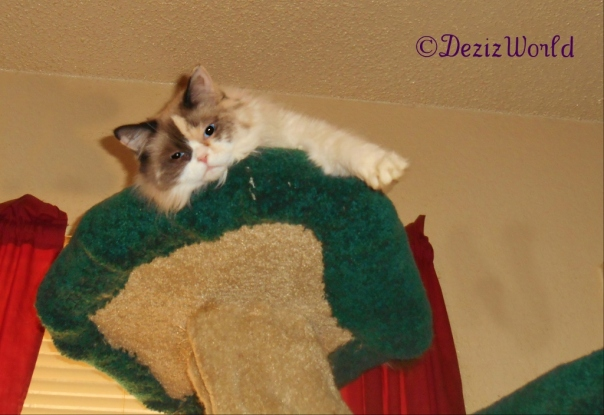 Raena looks over from atop the Liberty Cat tree
