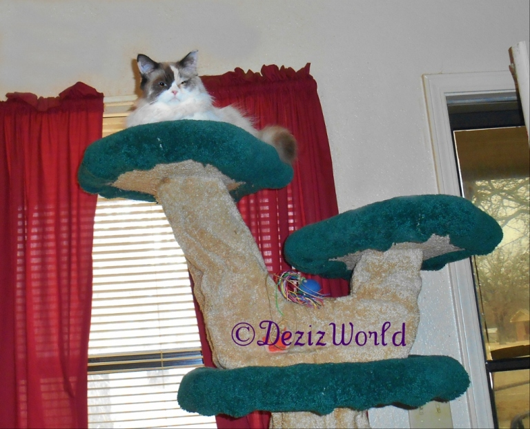 Raena looks out at the worker from atop the Liberty Cat tree