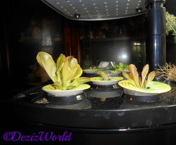 Lettuve growing from Aerogarden