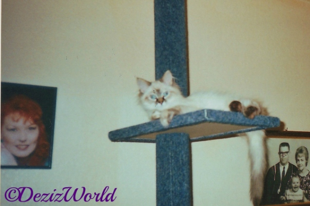 Dezi the kitten lays on the top ledge of the 3 tier cat tree