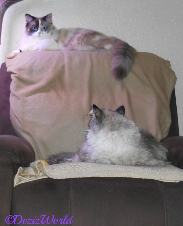 Raena lays on the back of the chair while Dezi looks up at her from the seat of the chair