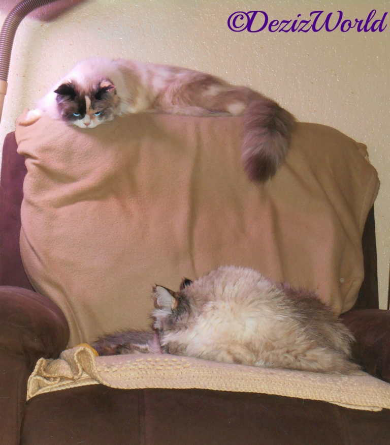 Dezi sleeps in the seat of the chair while Raena lays on the back of the chair