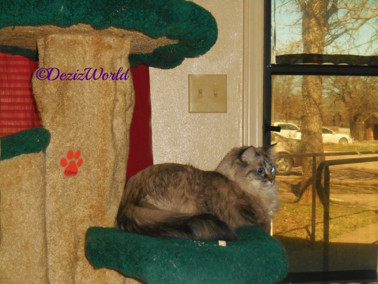 Dezi lays on the Liberty Cat Tree and looks into the house