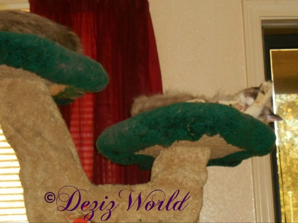 Raena bathes on the Liberty cat tree