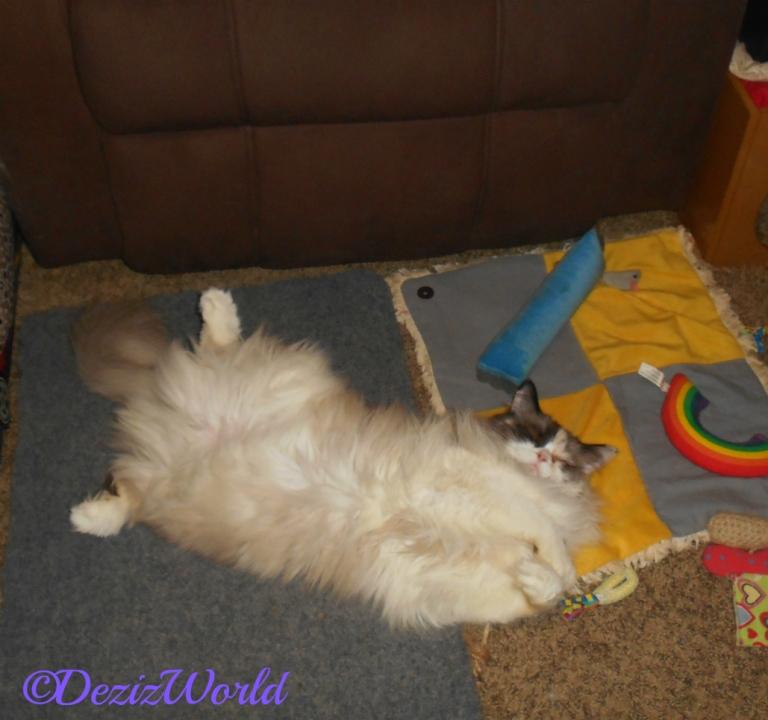 Raena sleeps belly up