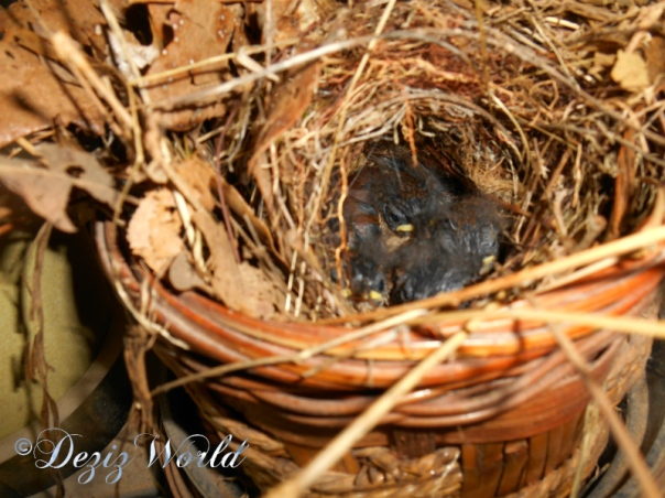 Baby birds in nest
