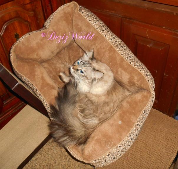 Dezi kneads cat bed