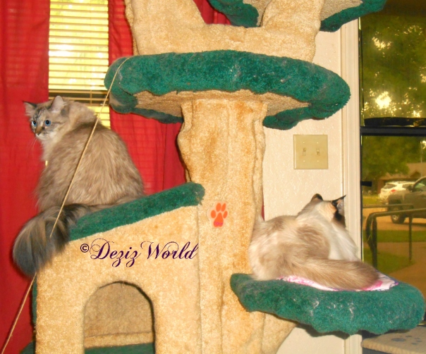 Dezi and Raena sit on the Liberty cat tree and look outside
