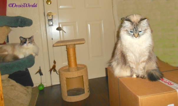 Dezi sits on a box while Raena looks on from the Liberty cat tree