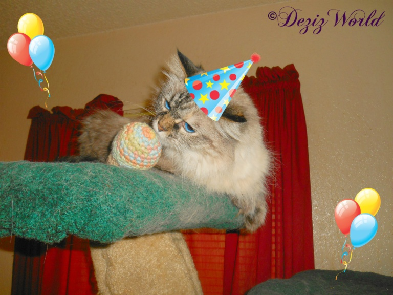 Dezi sniffs birthday toy while wearing a birthday hat and balloons