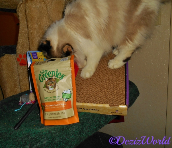 Raena sniffs the treats from Chewy while standing on the Kong scratcher