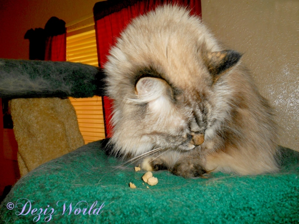 Dezi eats treats atop the Liberty Cat Tree