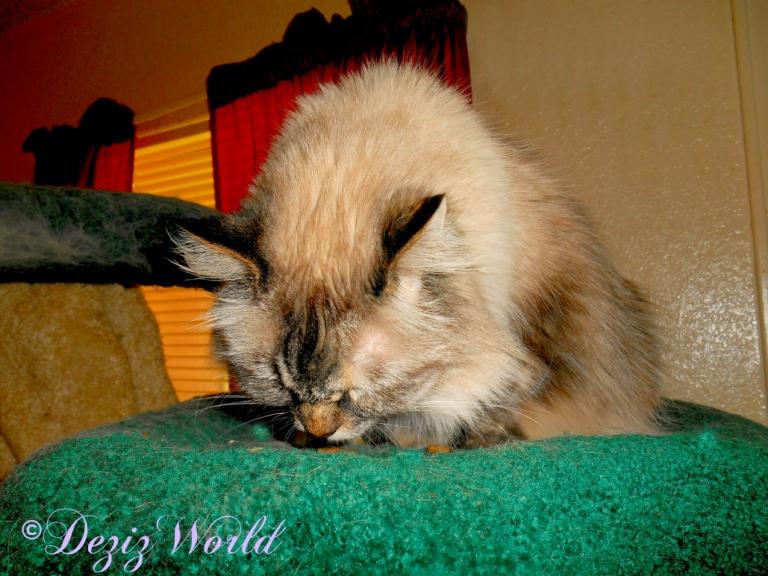 Dezi eats treats on Liberty cat tree