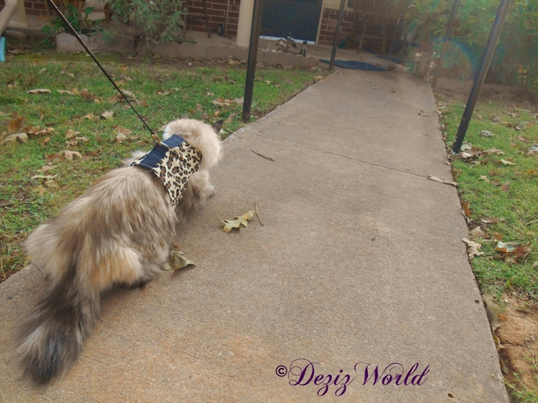 Dezi walks outside in her harness on a leash