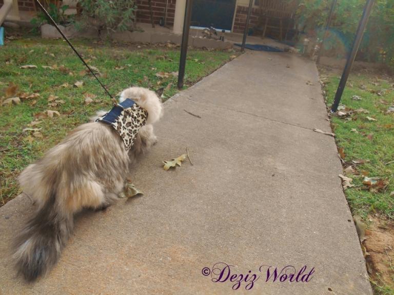 Dezi walks outside in her harness on a leash