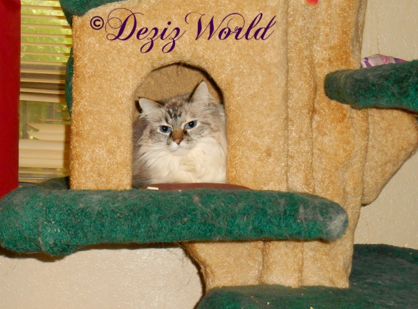 Dezi lays in the house on the Liberty cat tree